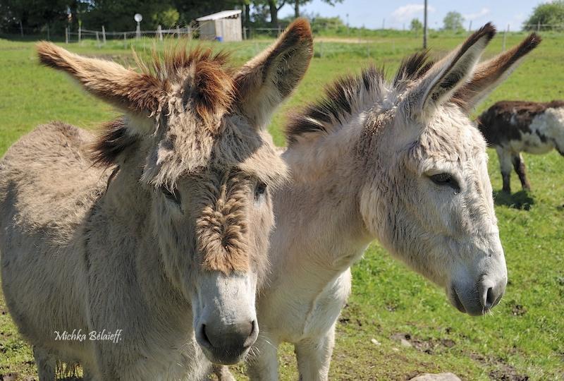 L'Asinerie «Les ânes en culotte».