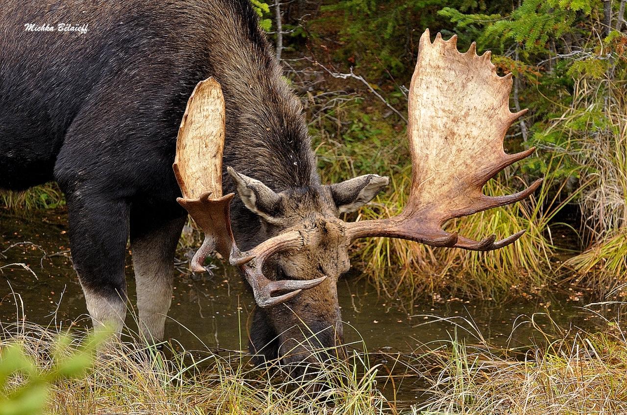 Orignaux automne 2014 / Moose fall2014.