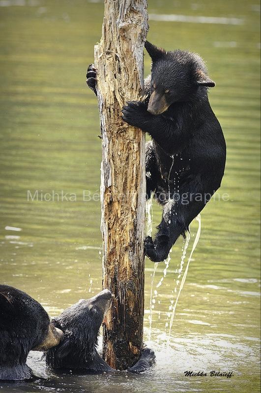 L'ours noir d'Amérique.