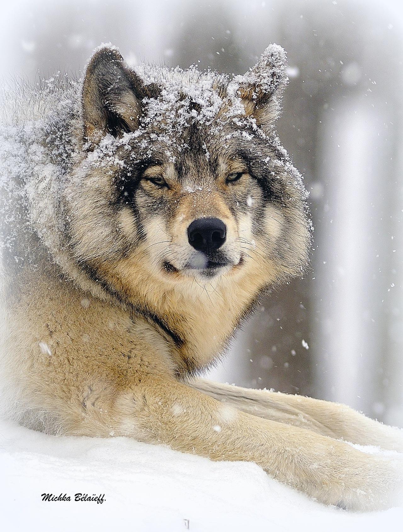Le loup d'Amérique.  The wolf ofAmerica.