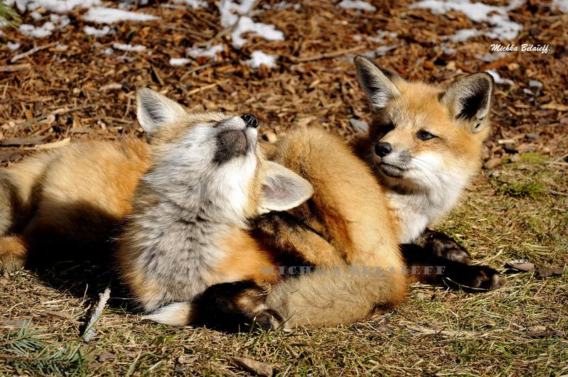 Une famille de jeunes renardeaux en plein cœur de Montréal!