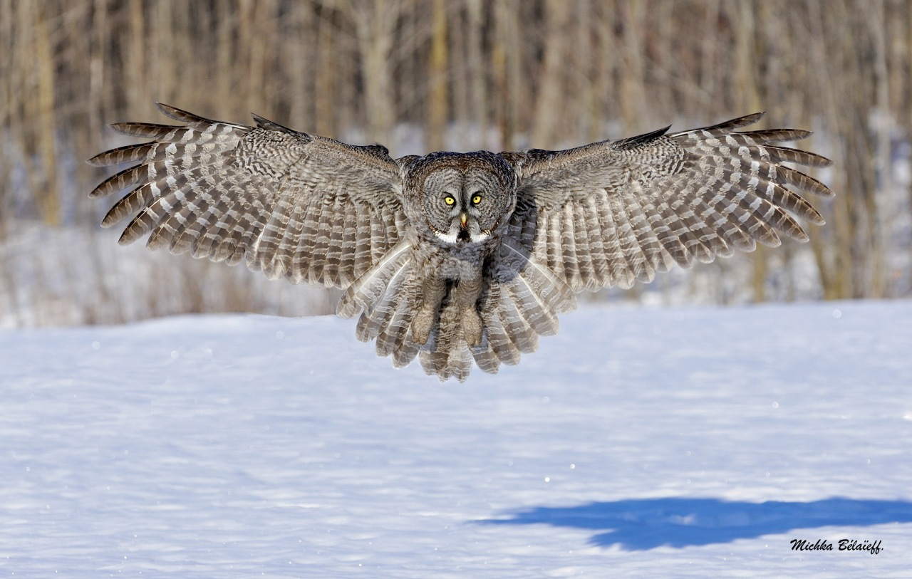 Une chouette Lapone / The Great Gray Owl.