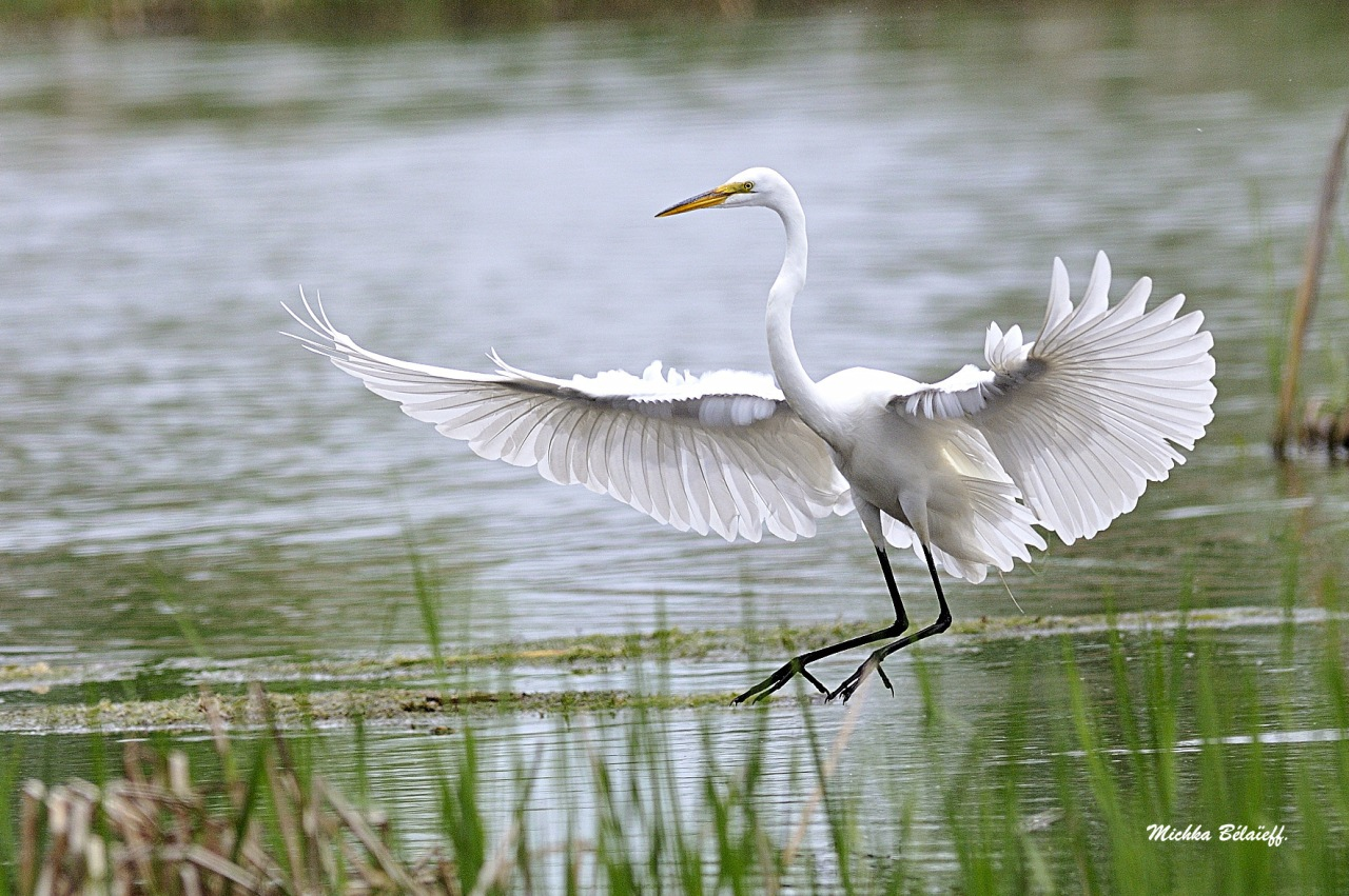 La grande aigrette / The Great Egret.