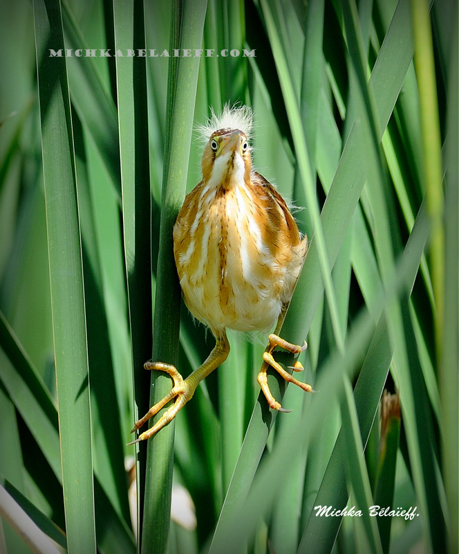 Le petit Blongios ou petit Butor / The Least Bittern.